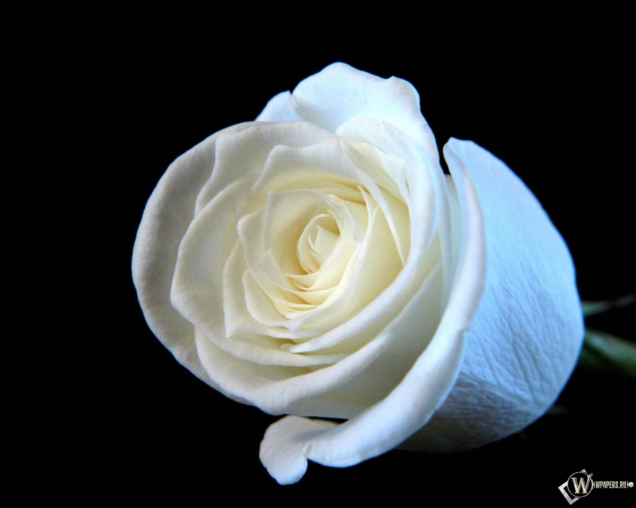Белая роза картинка  soloveysu