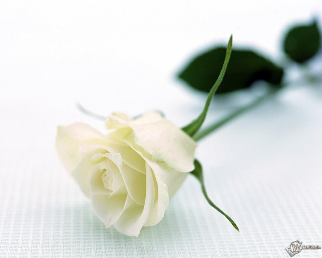Картинки белая роза