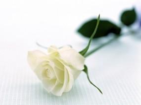 Обои Белая роза: Белая роза, Цветы