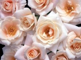 Обои Лиловые розы: Розы, Букет, Цветы