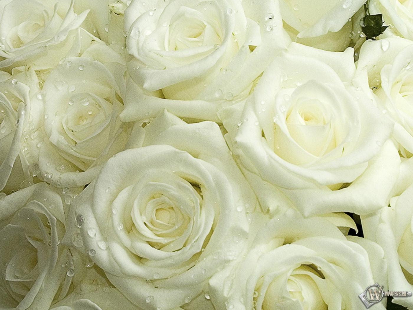 Белые розы 1400x1050