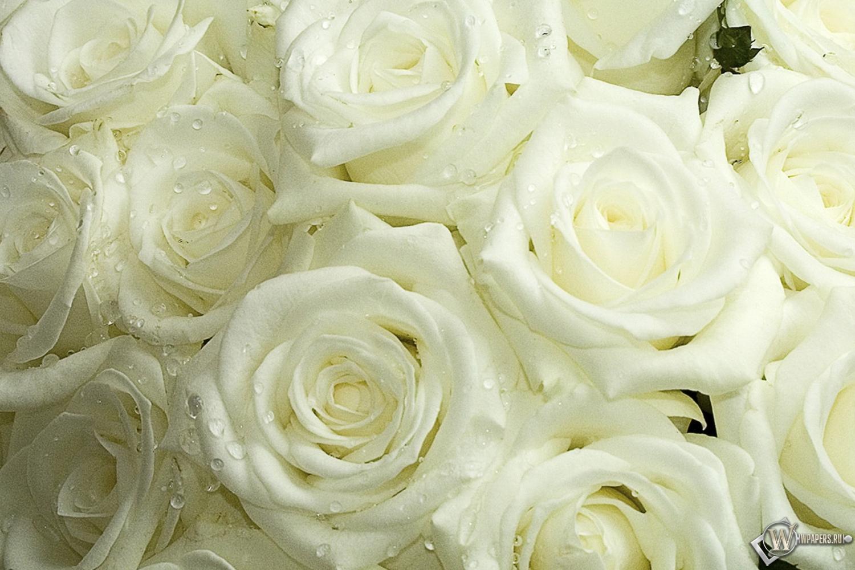 Белые розы 1500x1000