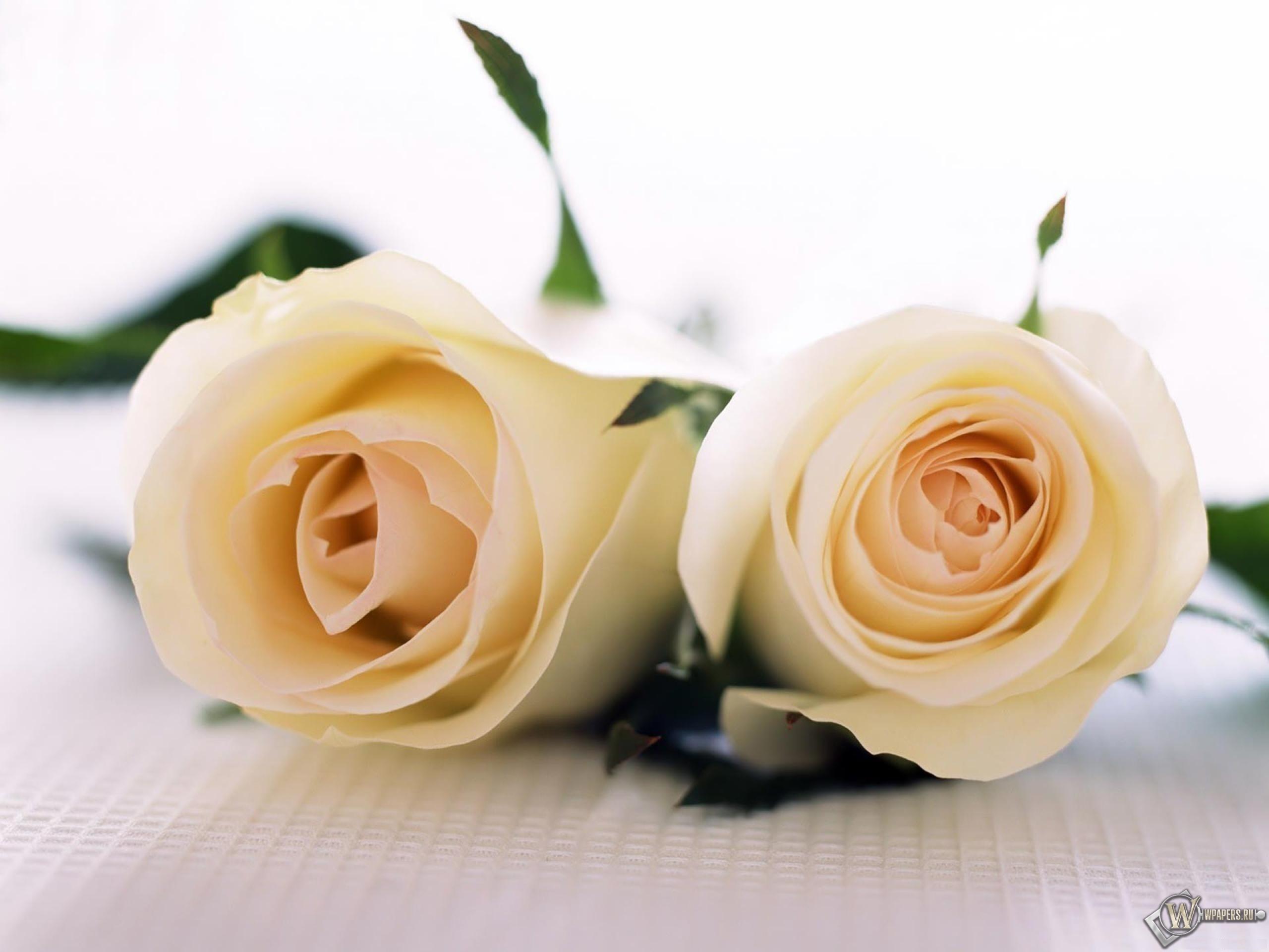 Две белые розы 2560x1920