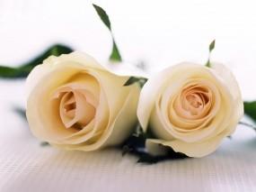 Обои Две белые розы: Белые розы, Цветы