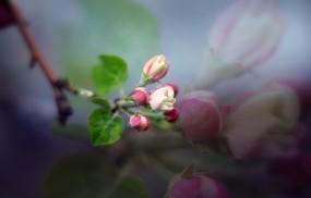 Обои яблоневый цвет: Цветы, Яблоня, Бутоны, Цветы