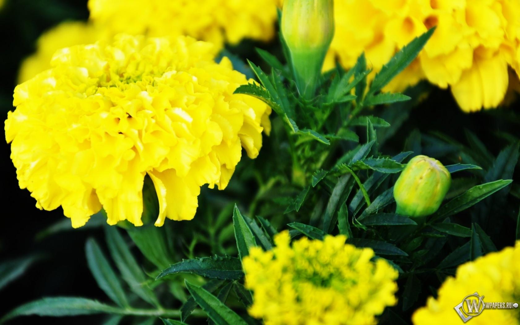 Желтые цветы 1680x1050