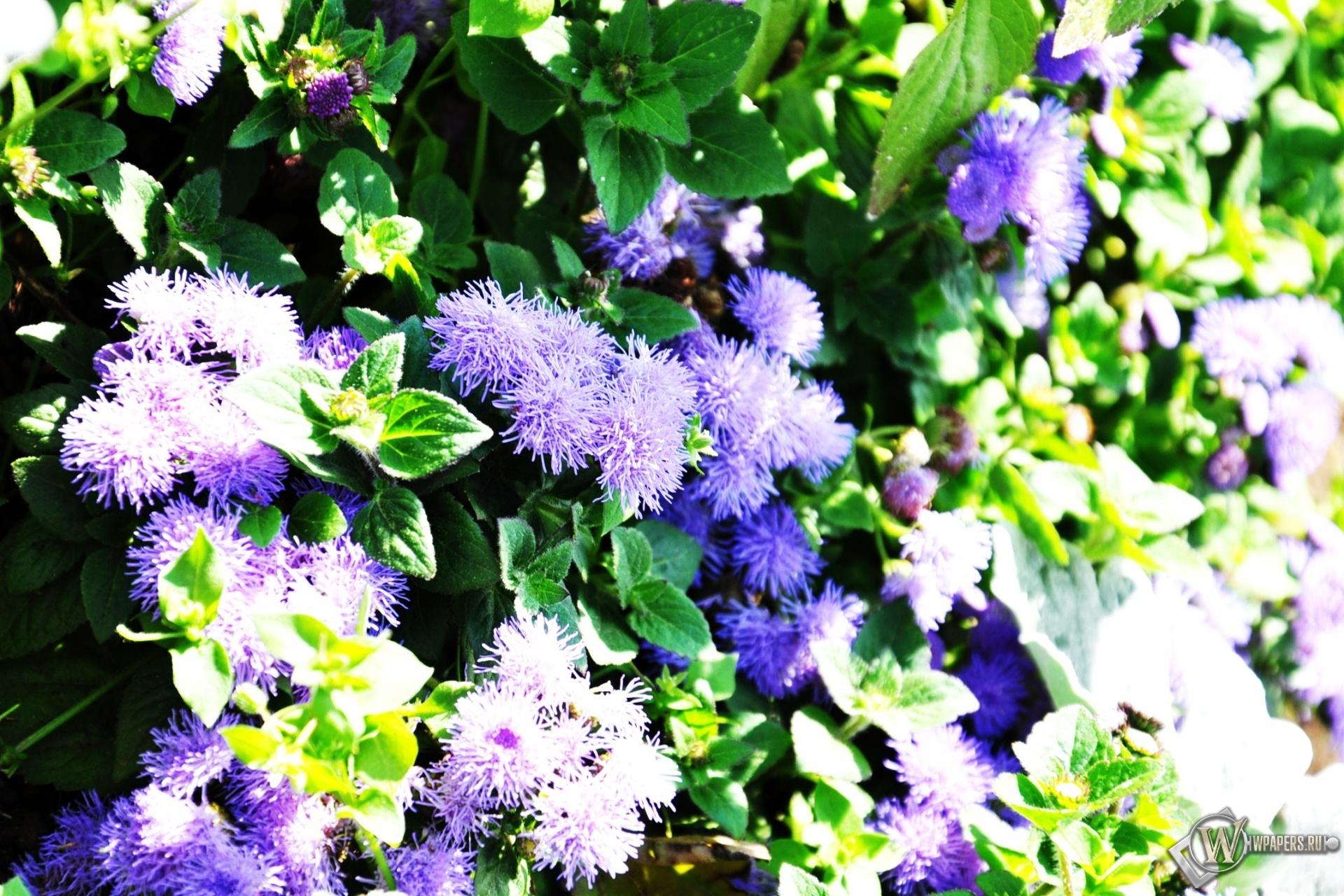 фиолетовые цветочки 1920x1280