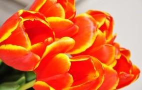 Обои Тюльпаны: Тюльпаны, Цветы