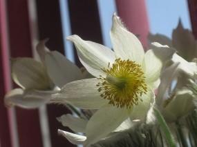 Обои Весенние Подснежники: Цветы, Подснежники, Цветы
