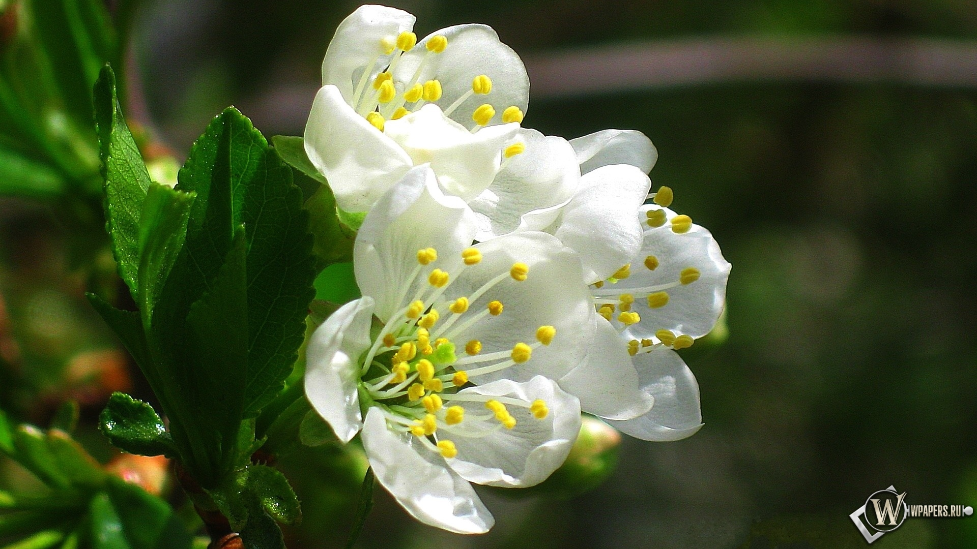 Сирень  саженцы  Питомник растений АгроСАД