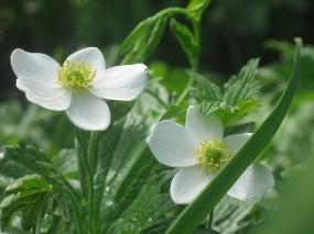 Обои Белые цветы: Цветы, Цветы