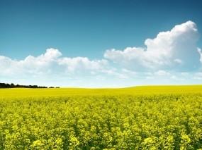 Обои поле цветов: Поле, Небо, Цветы, Цветы
