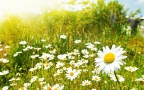 Обои Ромашки на поле: Поле, Ромашка, Цветы, Ромашки, Растения, Обои, Цветы