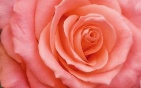 Обои Бутон розы: Роза, Цветок, Лепестки, Розовый, Бутон, Цветы
