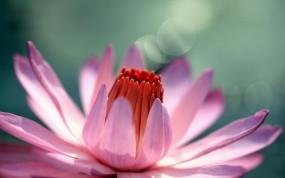 Обои Водяная лилия: Цветок, Лилия, Цветы