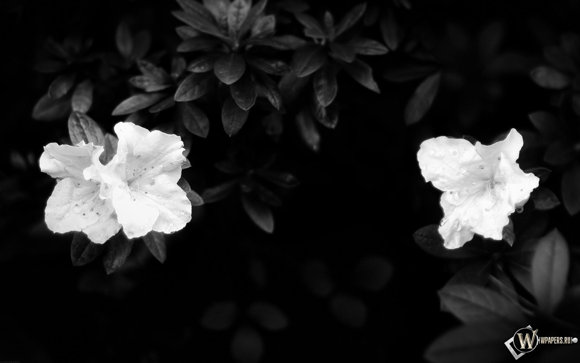 Чёрно-белые цветы 1920x1200