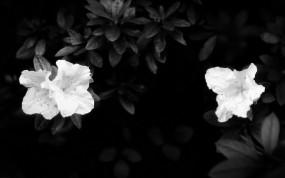 Обои Чёрно-белые цветы: Цветы, Листья, белое, Цветы