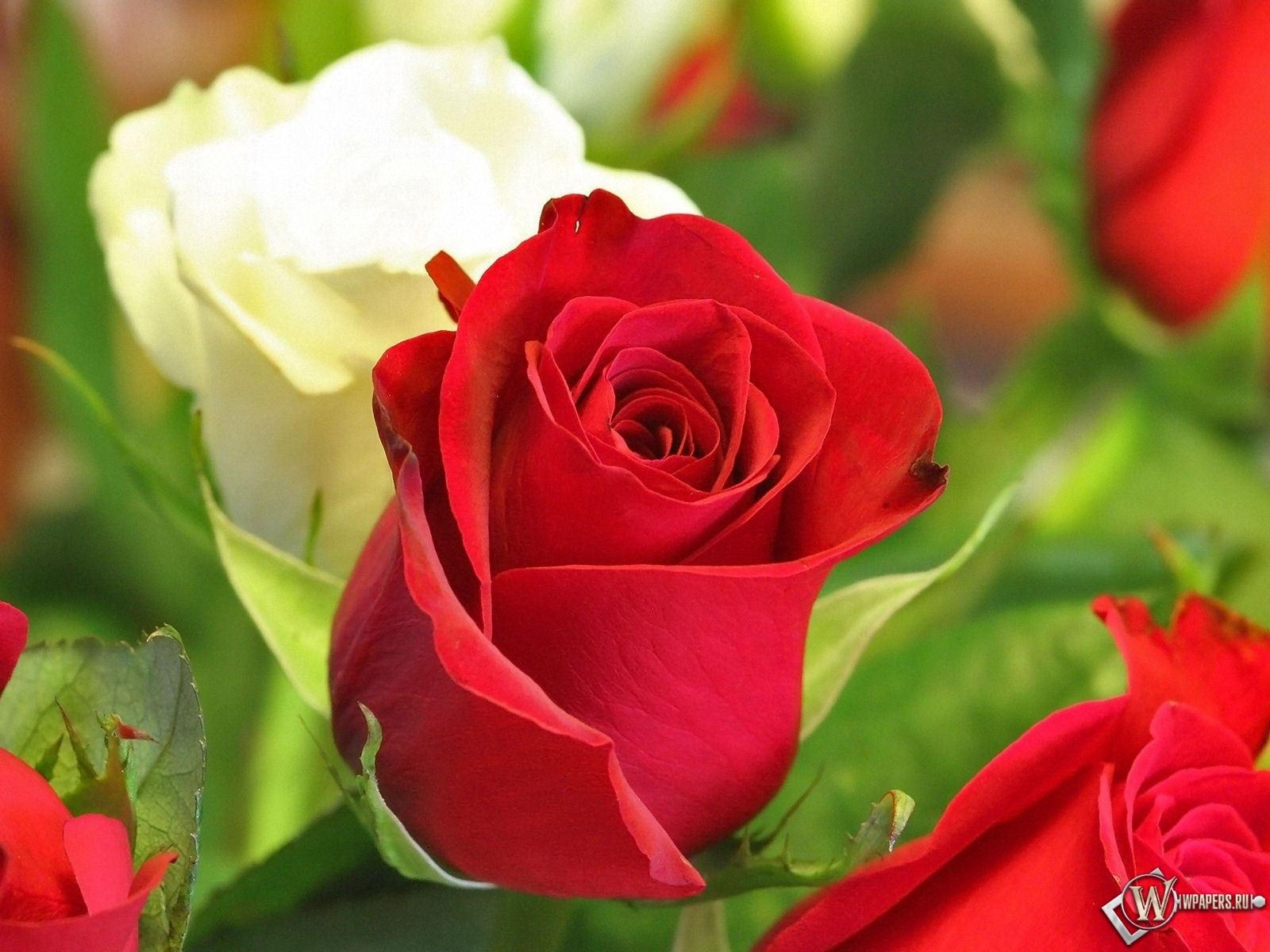 Белая и красная роза 1600x1200