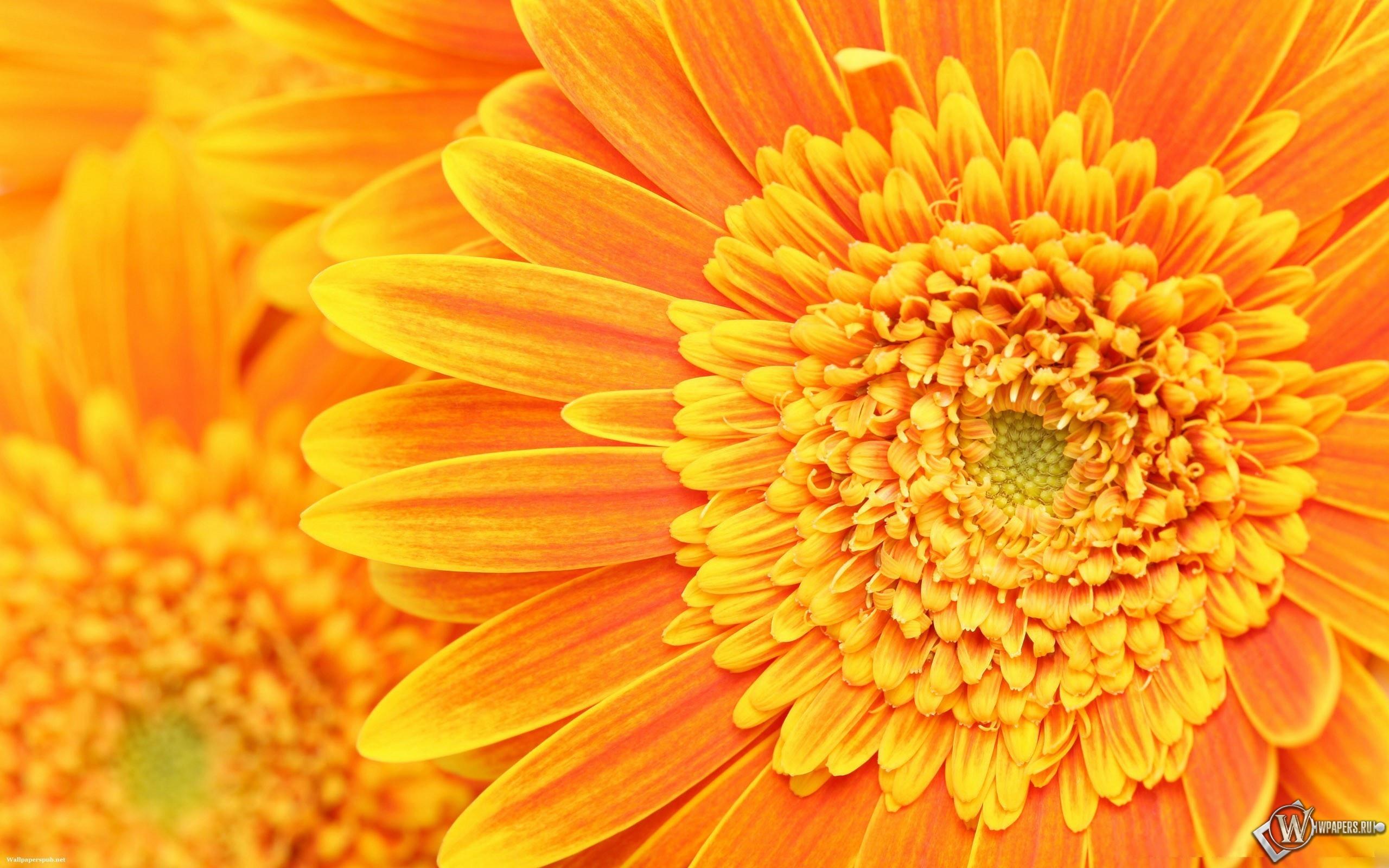 Оранжевые цветы 2560x1600