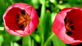 Обои Розовые тюльпаны: Природа, Макро, Цветы, Тюльпаны, Цветы