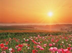 Обои Маковое поле: Закат, Поле, Цветы, Цветы