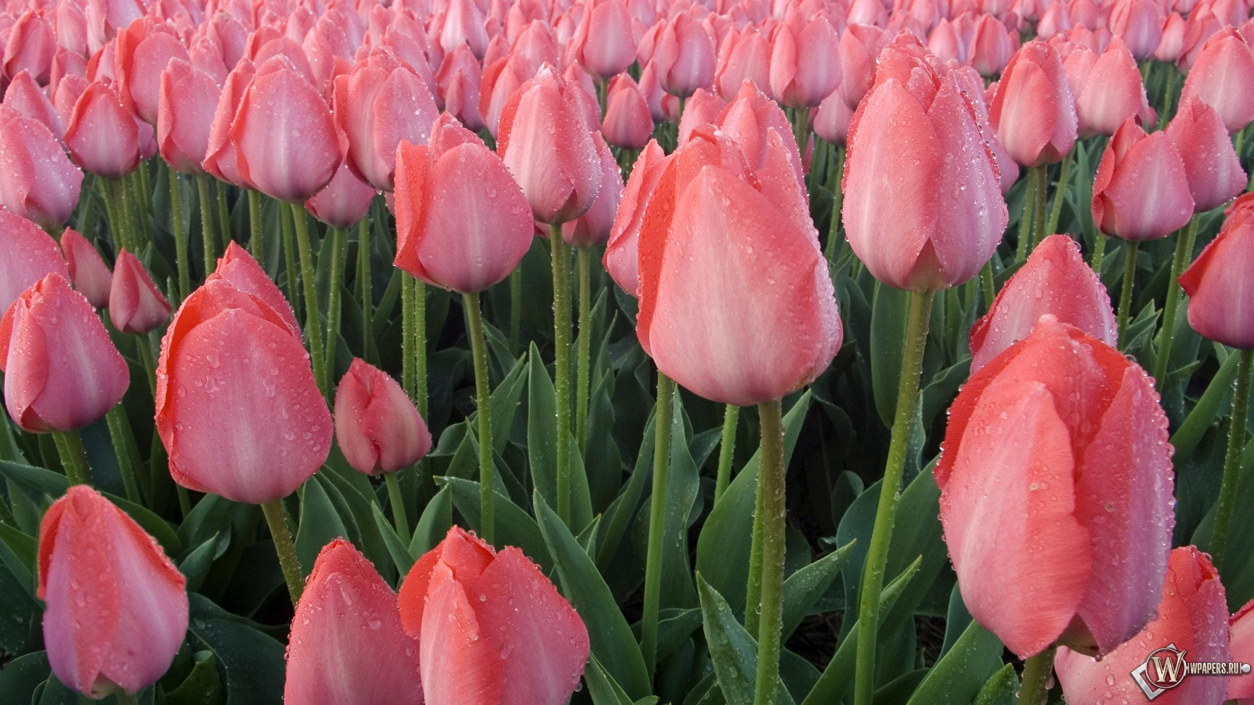 картинки тюльпанов рабочий стол красивые на очень