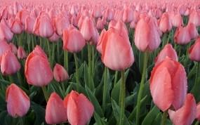 Обои Розовые тюльпаны: Роса, Тюльпаны, Листья, Цветы