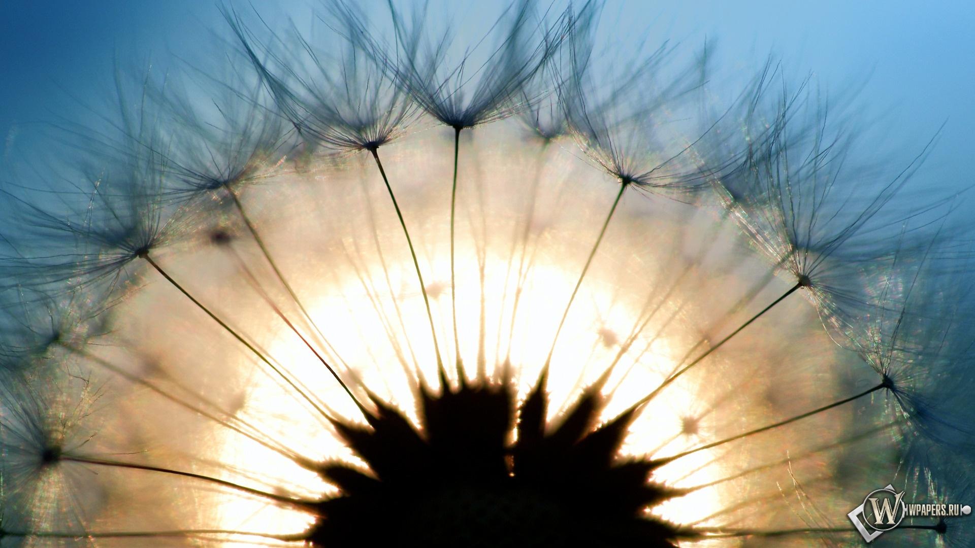 Солнечный одуванчик 1920x1080