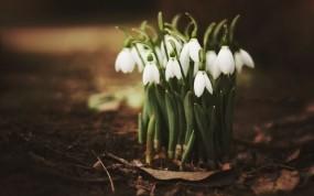 Обои Подснежники в лесу: Листья, Весна, Подснежники, Цветы