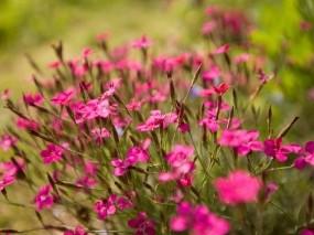Обои Луговые цветы: Цветок, Луг, Цветы