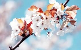 Обои Цветение сакуры: Вишня, Белый, Весна, Цветы