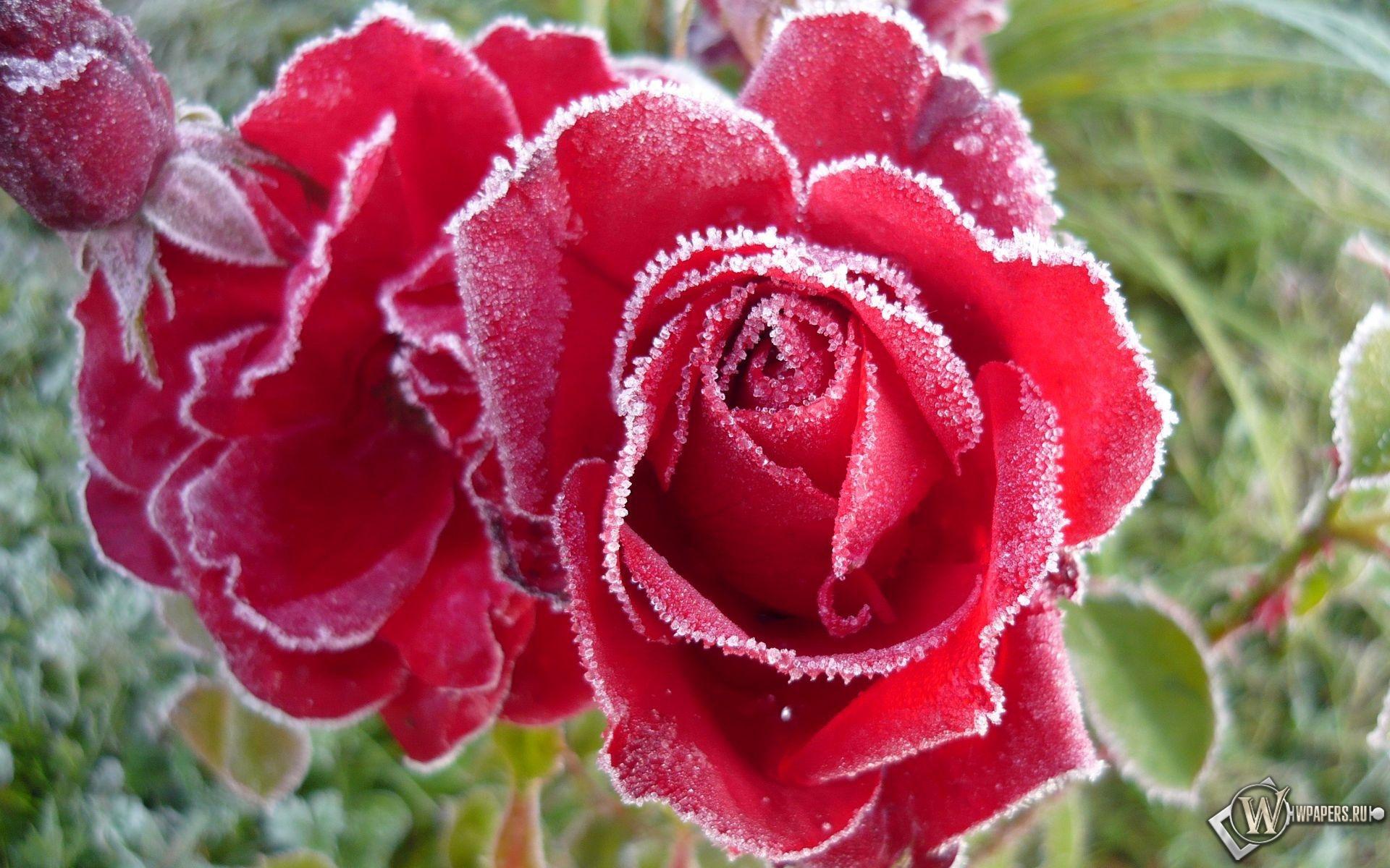 Розы в инее 1920x1200