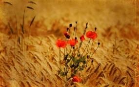 Обои Маки в поле: Поле, Цветы, Маки, ПРастения, колоски, Цветы