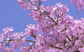 Обои Весенняя сирень: Макро, Цветы, Весна, Сирень, Цветы