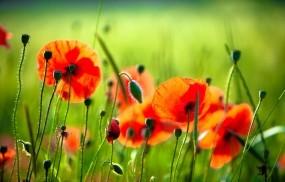Обои Маки: Трава, Цветы, Красный, Маки, Цветы
