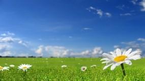 Обои Ромашковое поле: Поле, Ромашка, Цветы, Цветы