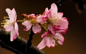 Обои Розовые цветы: Цветок, Макро, Цветы
