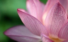 Обои Лотос: Цветок, Капли, Лепестки, Цветы