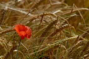 Обои Мак в поле: Поле, Колосья, Маки, Цветы