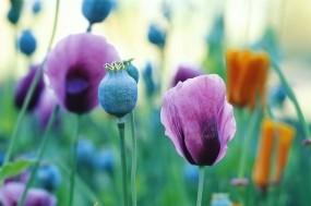 Обои Сиреневые маки: Поле, Цветы, Маки, Цветы