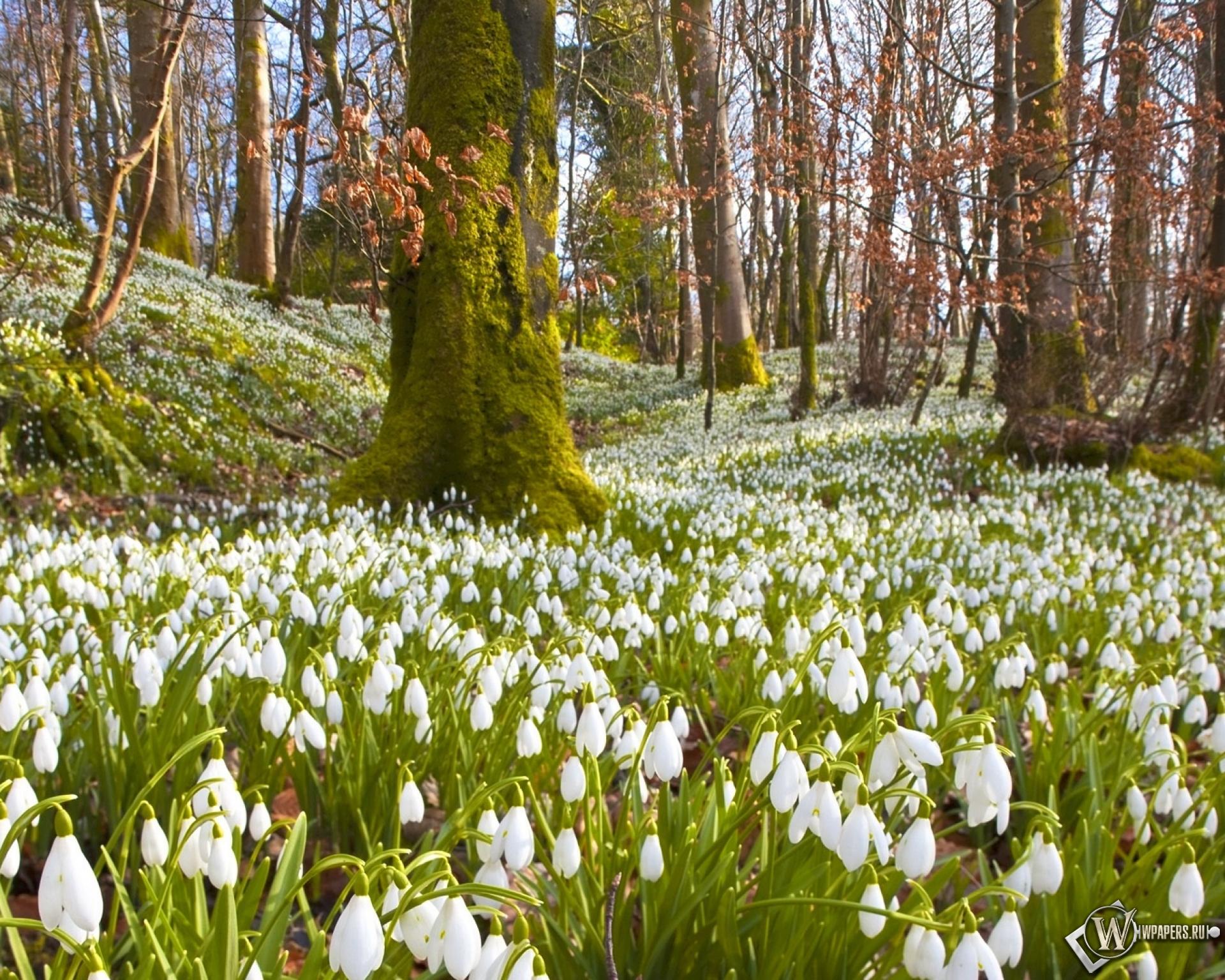 фотографии весна в лесу подснежники которые