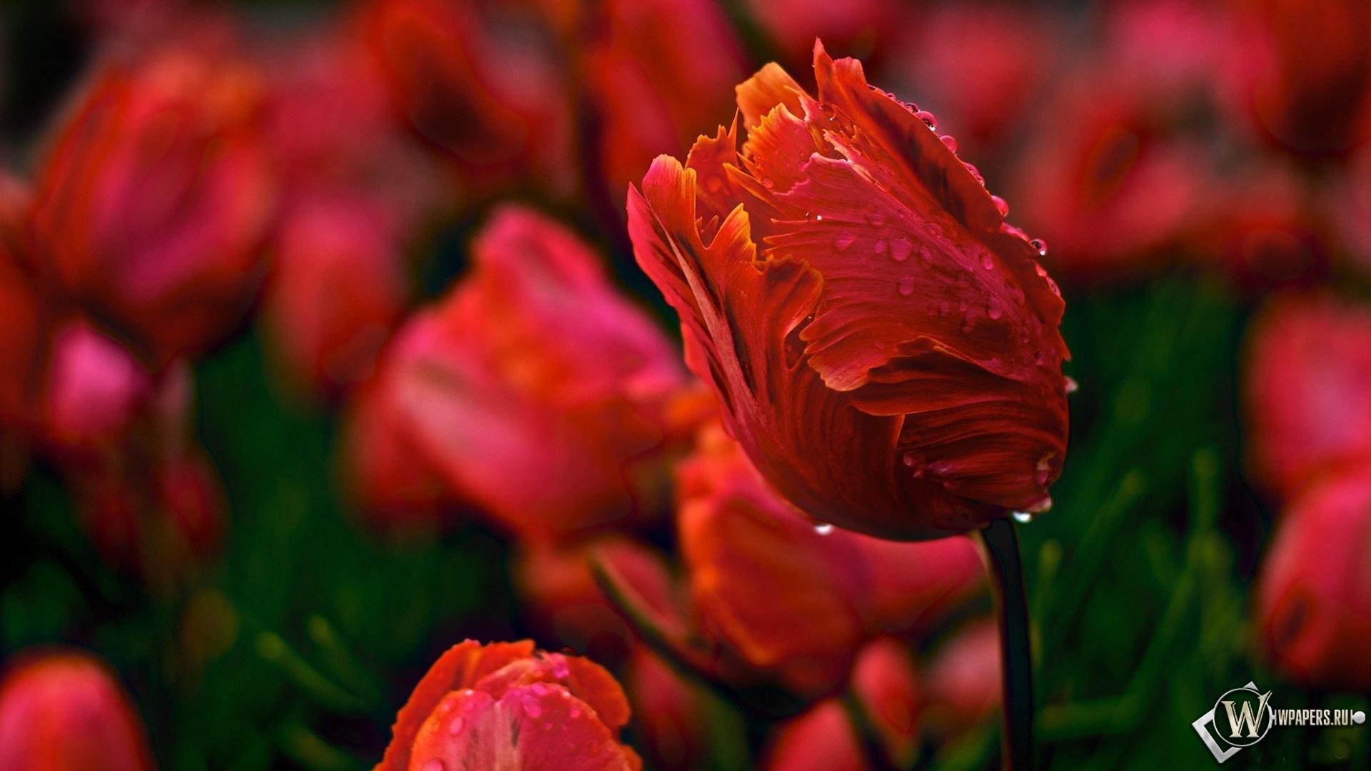 Тюльпаны 1920x1080