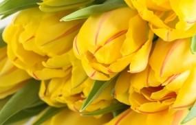 Обои Жёлтые тюльпаны: Цветы, Тюльпаны, Желтый, Цветы
