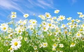Обои Ромашковое настроение: Небо, Ромашки, Поляна, белые, Цветы