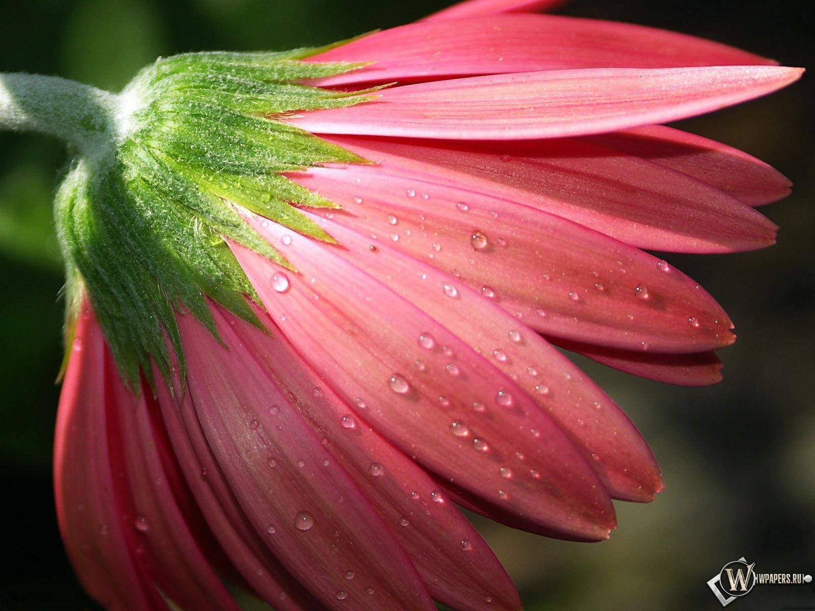 Цветок в росе 1600x1200