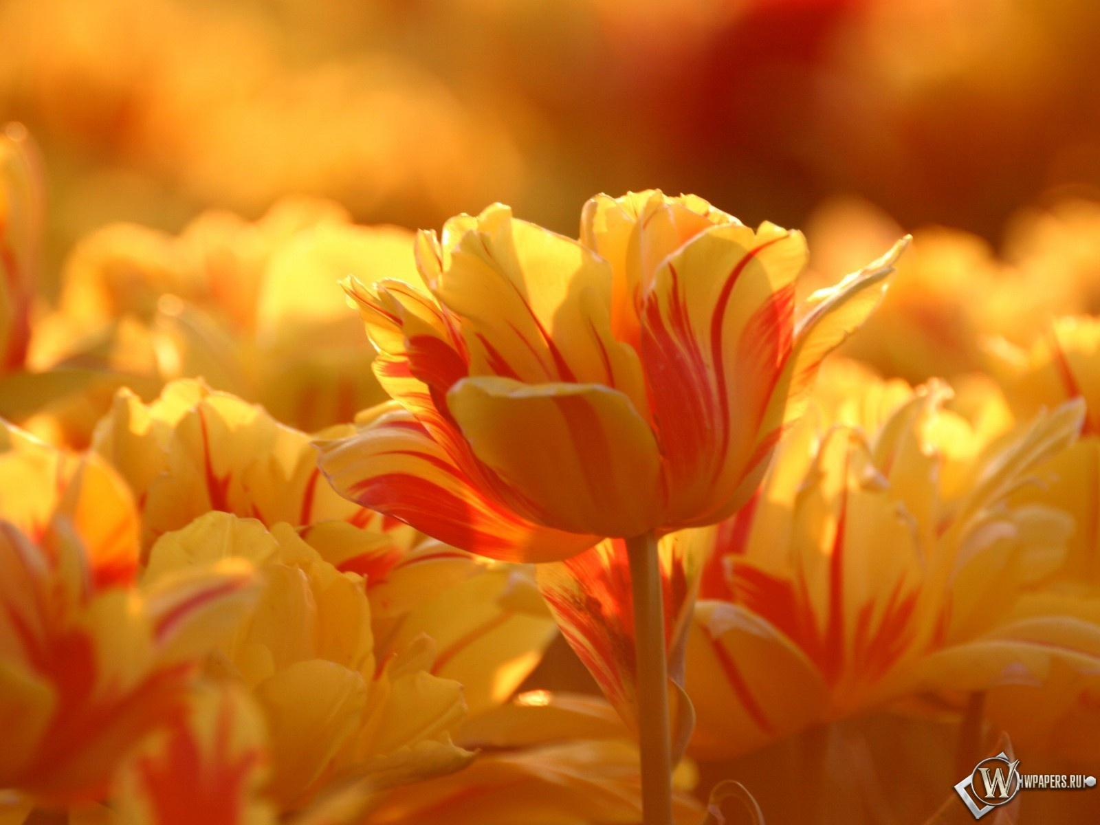 Тюльпаны 1600x1200
