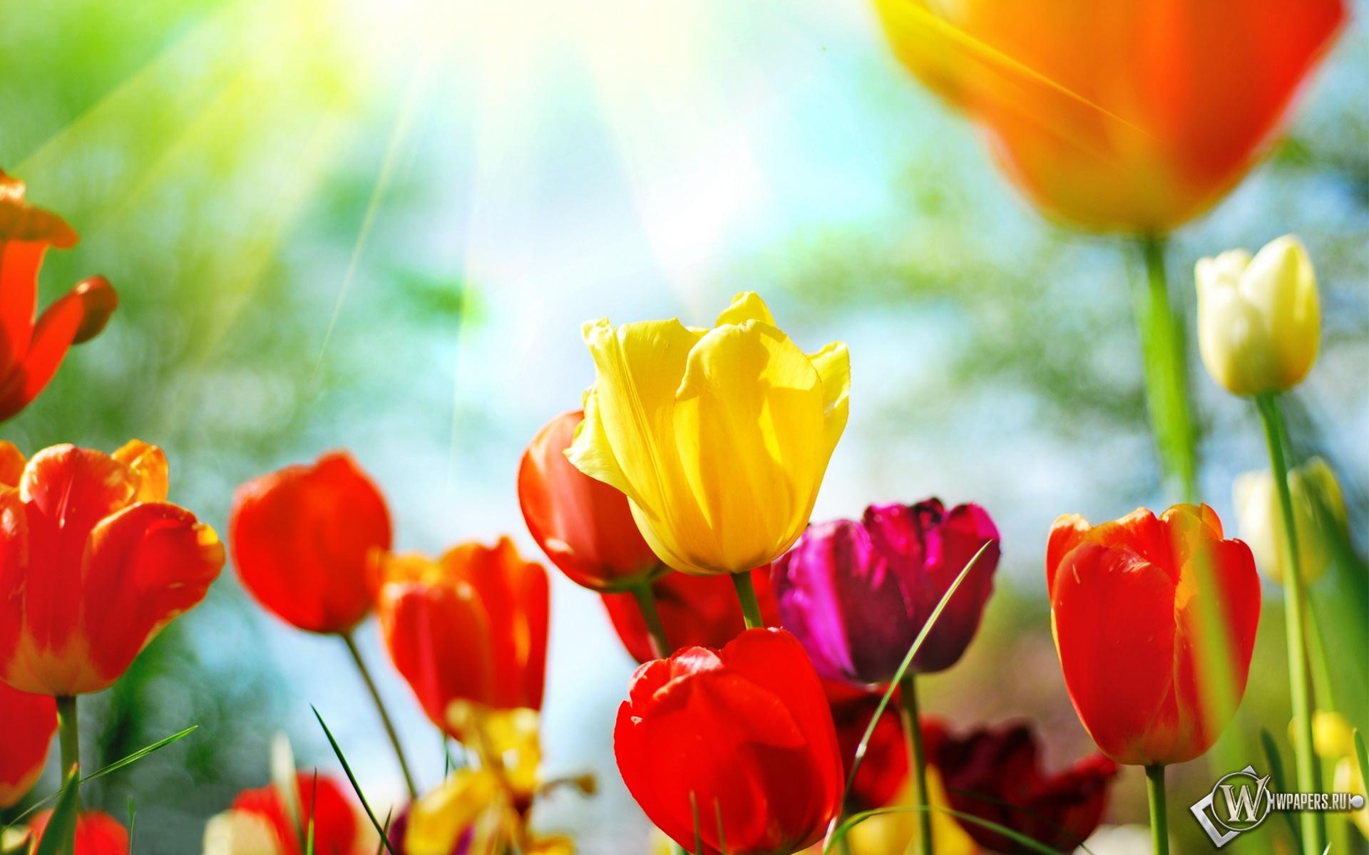 Разноцветные тюльпаны 1920x1200