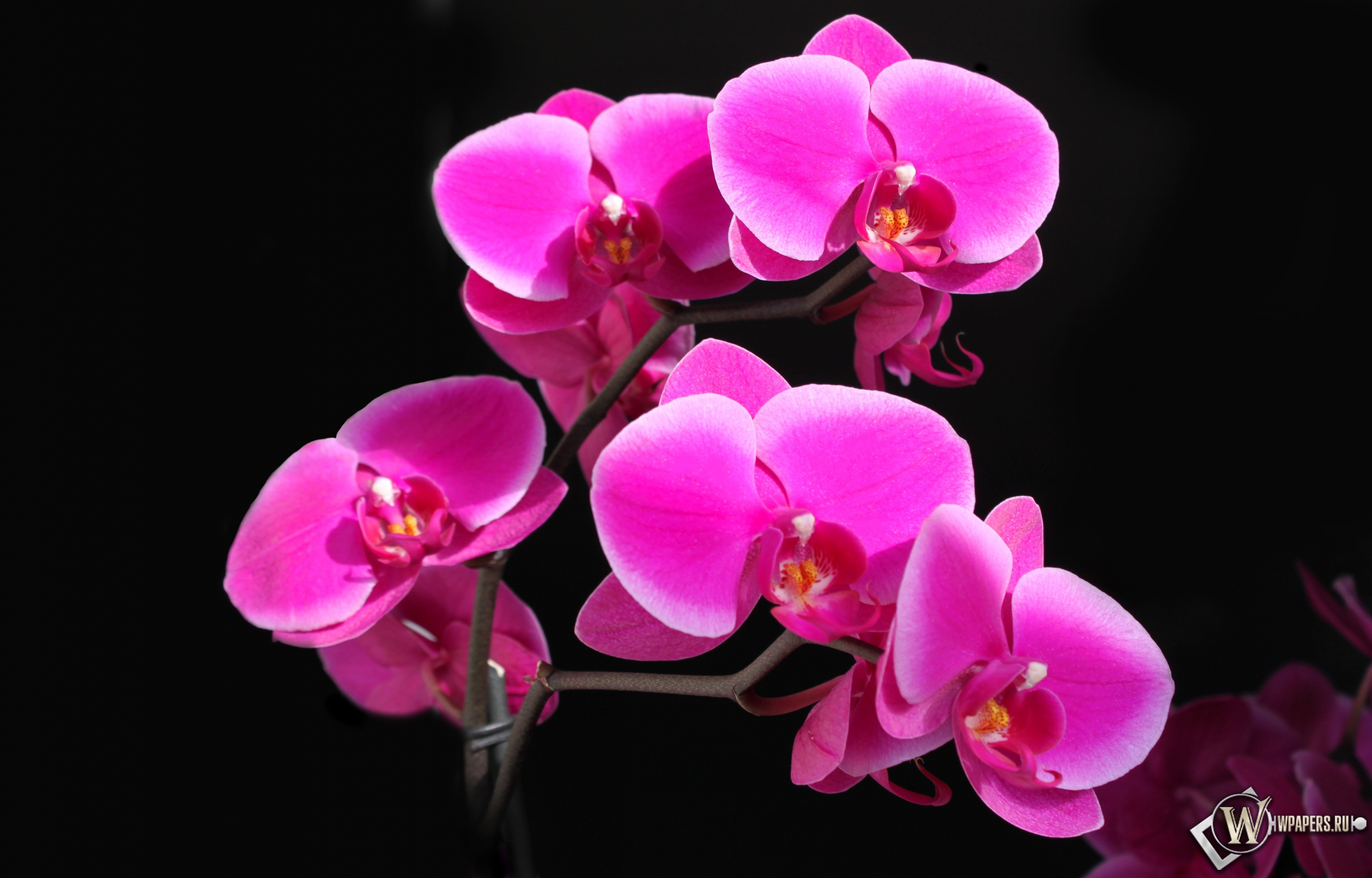 Розовый фаленопсис 3200x2048