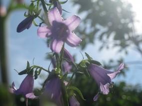 Обои Колокольчики: Сад, Цветы, Лето, Колокольчики, Цветы