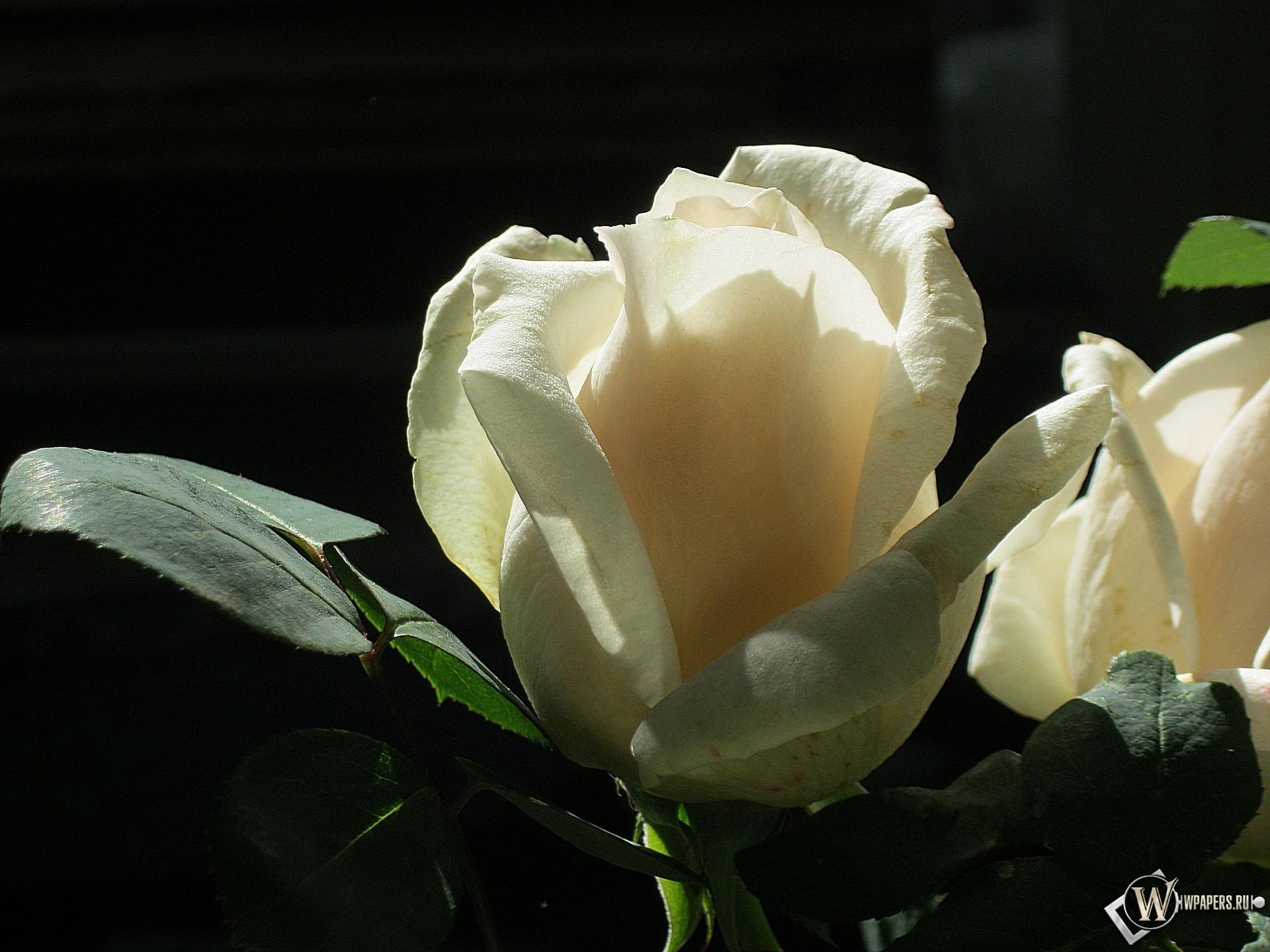 Белая роза 1920x1440
